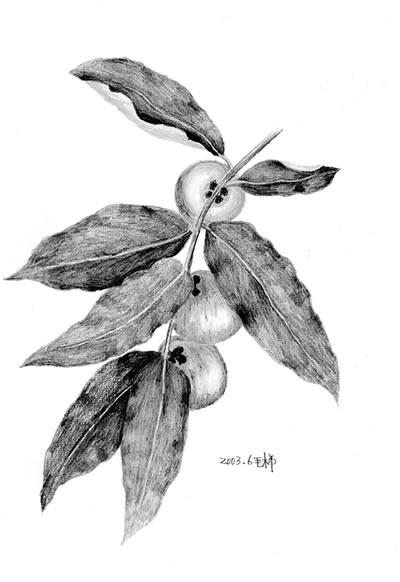 時間 : 2003 名稱 : 毛柿 (收錄於《失落的蔬果》)